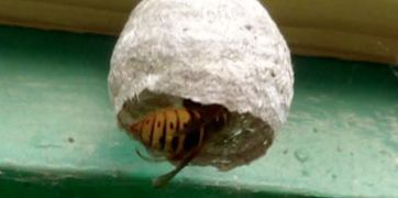 A typical wasp nest
